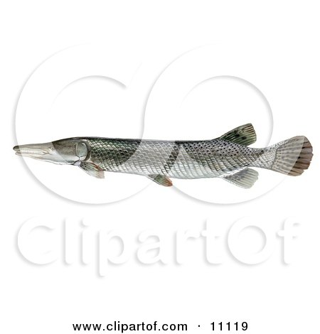 ... Illustration of an Alligator Gar Fish (Atractosteus spathula