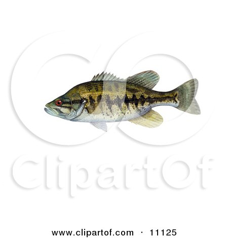 Clipart Illustration of a Suwannee Bass Fish (Micropterus notius) by JVPD