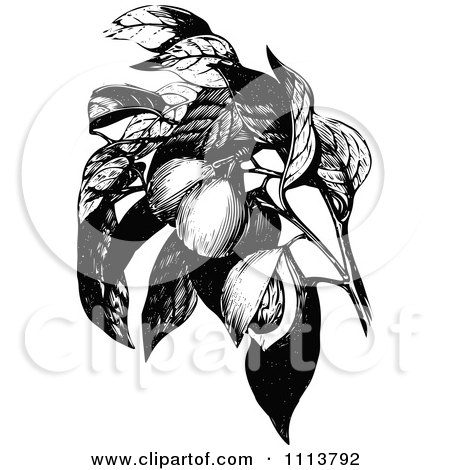 Clipart Vintage Black And White Nutmeg Branch - Royalty Free Vector Illustration by Prawny Vintage