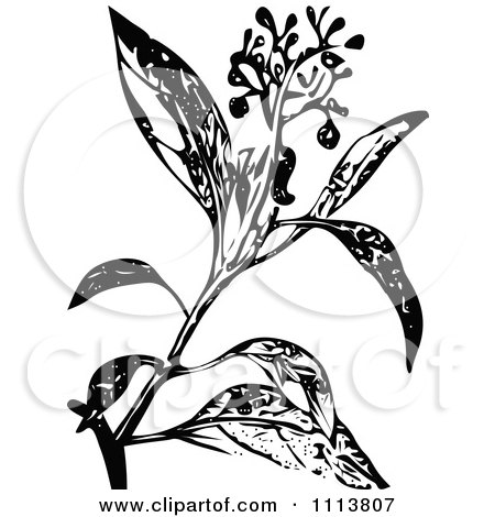 Clipart Retro Black And White Camphire Henna Plant With Flowers - Royalty Free Vector Illustration by Prawny Vintage