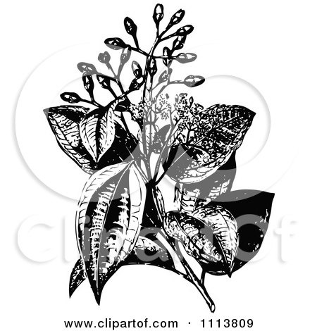 Clipart Retro Black And White Cinnamon Plant And Flowers - Royalty Free Vector Illustration by Prawny Vintage