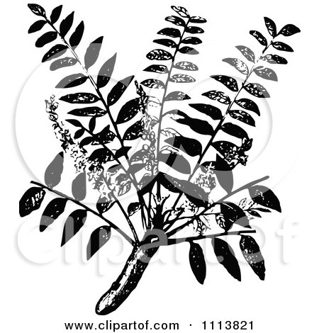 Clipart Vintage Black And White Frankincense Plant - Royalty Free Vector Illustration by Prawny Vintage