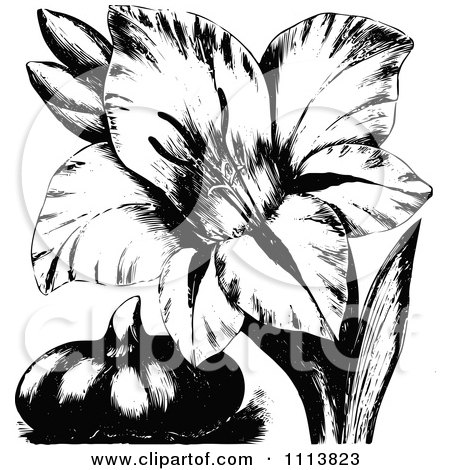 Clipart Vintage Black And White Gladiola Flower And Bulb - Royalty Free Vector Illustration by Prawny Vintage