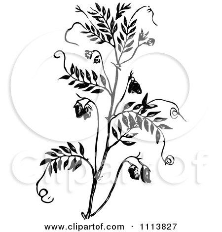Clipart Vintage Black And White Lentil Plant - Royalty Free Vector Illustration by Prawny Vintage