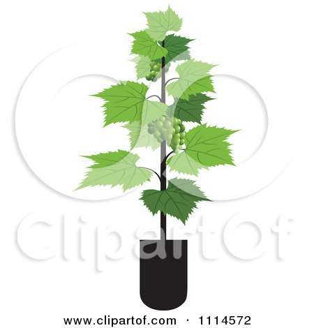 Clipart Potted Grape Vine - Royalty Free Vector Illustration by Lal Perera