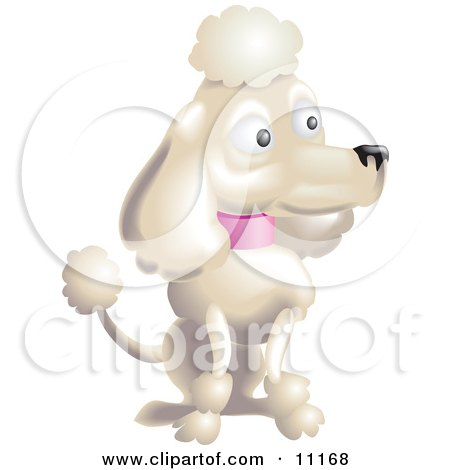 Pampered White Female Poodle With a Pink Collar, Sporting the Pompoms of the Continental Clip in a Dog Show Clipart Illustration by AtStockIllustration