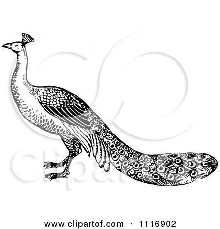 Clipart Of A Retro Vintage Black And White Peacock - Royalty Free Vector Illustration by Prawny Vintage