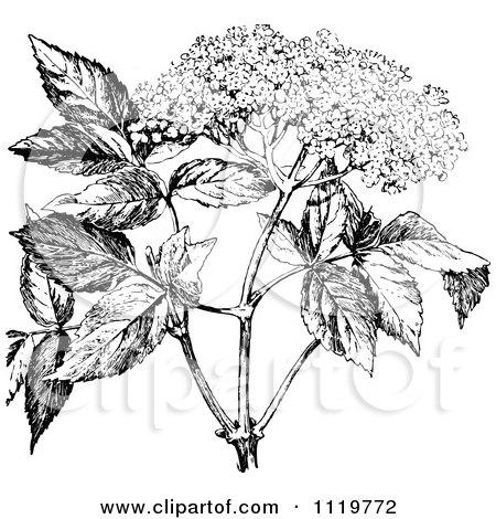 Clipart Of A Retro Vintage Black And White Elder Flower - Royalty Free Vector Illustration by Prawny Vintage