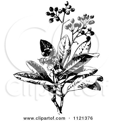 Clipart Of A Retro Vintage Black And White Allspice Plant - Royalty Free Vector Illustration by Prawny Vintage