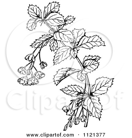 Clipart Of A Retro Vintage Black And White Barberry Branch - Royalty Free Vector Illustration by Prawny Vintage