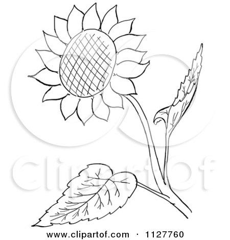 Cartoon Of A Retro Vintage Black And White Sunflower And Leaves Line Drawing Royalty Free Vector Clipart
