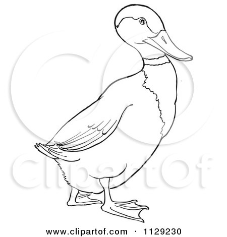 Cartoon Clipart Of An Outlined Drake Mallard Duck Black And White Vector Coloring Page