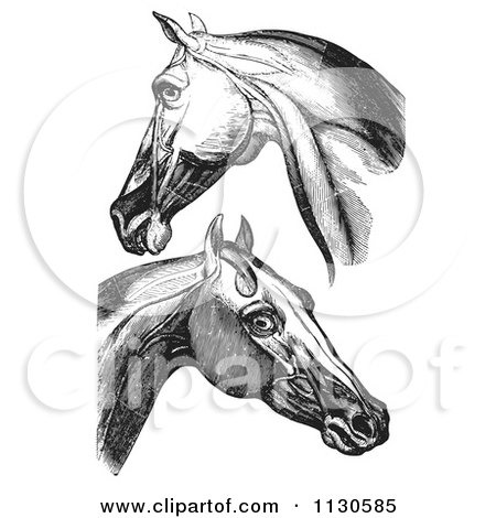Clipart Of Retro Vintage Engravings Of Horse Head And Neck Muscles In Black And White - Royalty Free Vector Illustration by Picsburg