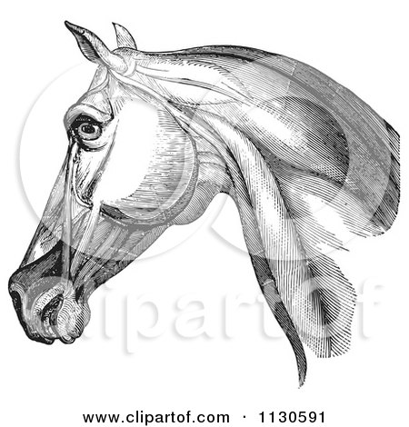 Clipart Of A Retro Vintage Engraving Of Horse Head And Neck Muscles In Black And White 1 - Royalty Free Vector Illustration by Picsburg