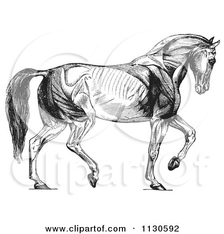 Clipart Of A Retro Vintage Diagram Of Walking Horse Muscles In Black And White - Royalty Free Vector Illustration by Picsburg