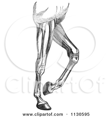 Clipart Of A Retro Vintage Engraved Diagram Of Horse Leg Muscles In Black And White - Royalty Free Vector Illustration by Picsburg
