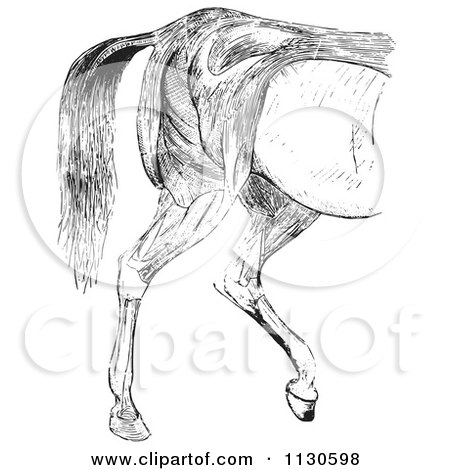 Clipart Of A Retro Vintage Engraved Horse Anatomy Of Hind Quarter Muscular Covering In Black And White - Royalty Free Vector Illustration by Picsburg