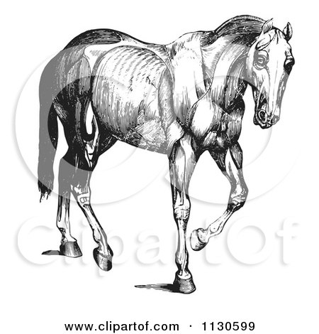Clipart Of A Retro Vintage Engraved Horse Anatomy Of Muscular Covering In Black And White - Royalty Free Vector Illustration by Picsburg