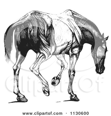 Clipart Of A Retro Vintage Engraved Horse Anatomy Of Muscular Covering Rear View In Black And White - Royalty Free Vector Illustration by Picsburg