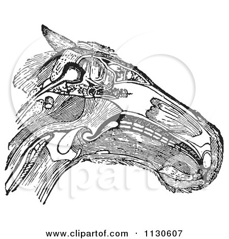 Clipart Of A Retro Vintage Diagram Of A Horse Head With Muscles Tendons And Bones In Black And White - Royalty Free Vector Illustration by Picsburg