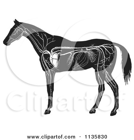 Clipart Of A Retro Vintage Engraved Horse Anatomy Of The Circulatory System In Black And White - Royalty Free Vector Illustration by Picsburg