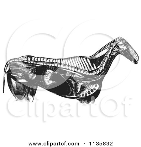 Clipart Of A Retro Vintage Engraved Horse Anatomy Of Internal Bones Organs In Black And White - Royalty Free Vector Illustration by Picsburg