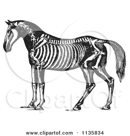 Clipart Of A Retro Vintage Horse Anatomy Of The Skeleton In Black And White 1 - Royalty Free Vector Illustration by Picsburg