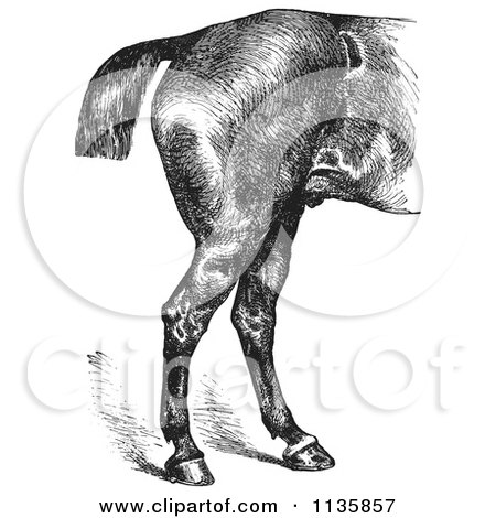 Clipart Of A Retro Vintage Engraved Horse Anatomy Of Good Hind Quarters In Black And White - Royalty Free Vector Illustration by Picsburg