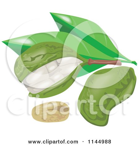 Clipart of Kola Nut Fruits and Leaves - Royalty Free Vector Illustration by patrimonio