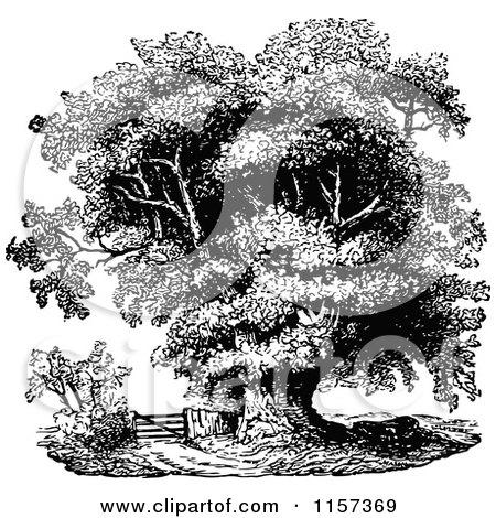 black oak mature singles Black oak (quercus velutina) 6 scarlet oak (quercus coccinea) 7  identifying oak trees native to tennessee  acorns mature in a single sea-son inner shell of nut is smooth acorns.
