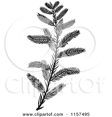 Clipart of a Retro Vintage Black and White Cypress Sprig - Royalty Free Vector Illustration by Prawny Vintage