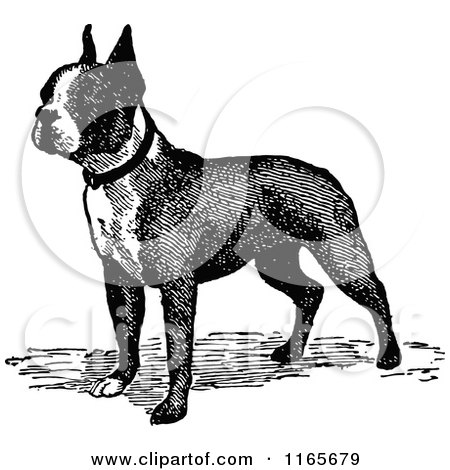 Retro Vintage Black and White Boston Terrier Dog Posters, Art Prints
