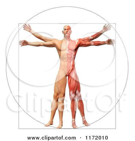 Clipart of a 3d Vitruvian Man with Exposed Muscles on One Side and ...