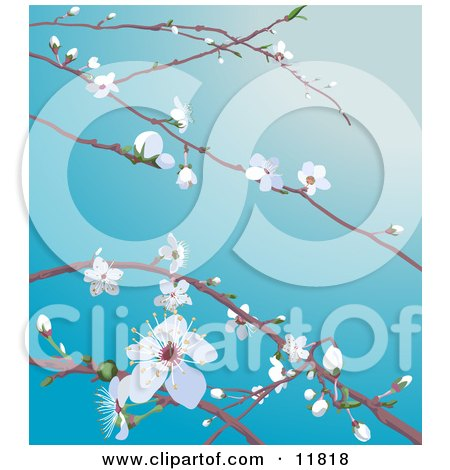 White Cherry Blossoms and Buds on Tree Branches in Spring Posters, Art Prints