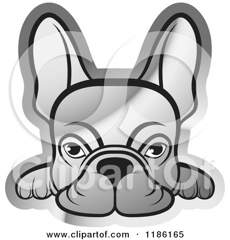 Silver Frenchie Dog Looking over a Surface Posters, Art Prints