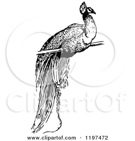 Clipart of a Vintage Black and White Peacock - Royalty Free Vector Illustration by Prawny Vintage