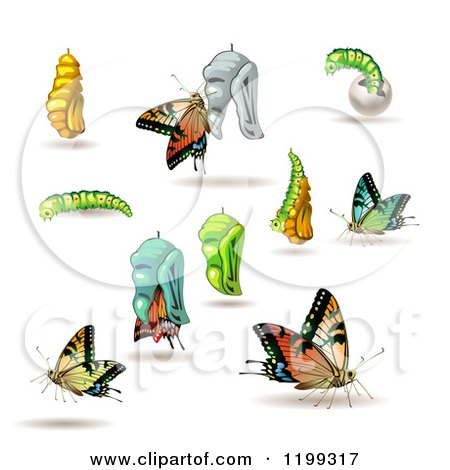 Clipart of Stages of the Butterfly from Cocoon to Adult - Royalty Free Vector Illustration by merlinul