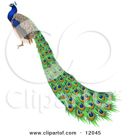 Gorgeous Indian Blue Peacock Bird With Long Feathers Clipart ...