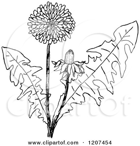 Dandelions Black And White Clipart on herb border