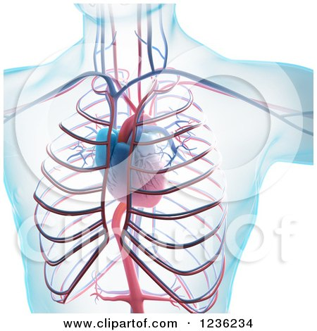 Clipart of a 3d Human Body, Heart and Cardiovascular System - Royalty Free CGI Illustration by Mopic