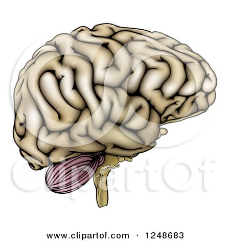 Clipart of a Human Brain in Profile - Royalty Free Vector Illustration by AtStockIllustration