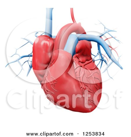 Clipart of a 3d Human Heart over White - Royalty Free Illustration by Mopic