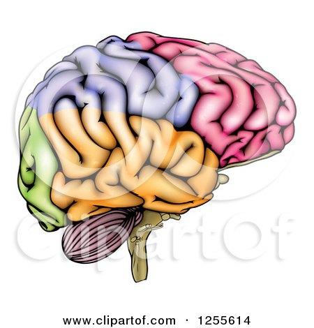 Colorful Anatomically Correct Human Brain Posters, Art Prints