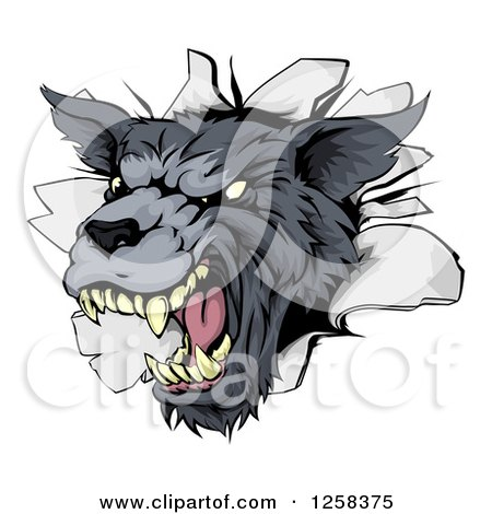 Clipart of a Snarling Gray Wolf Mascot Head Breaking Through a Wall - Royalty Free Vector Illustration by AtStockIllustration