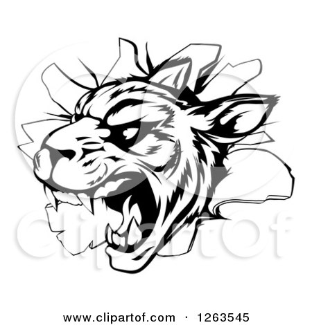 Clipart of a Black and White Vicious Tiger Mascot Breaking Through a Wall - Royalty Free Vector Illustration by AtStockIllustration