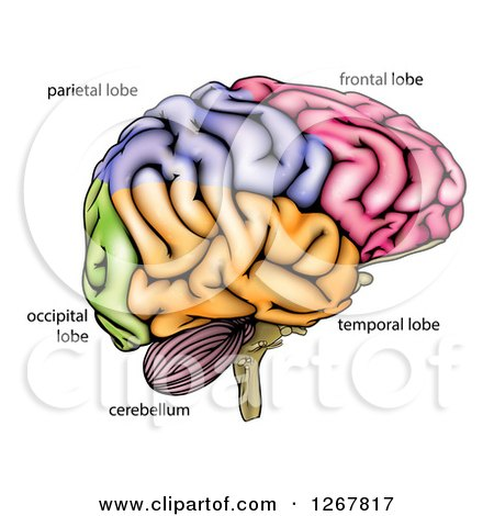 Human brain diagram posters art prints by atstockillustration human brain diagram posters art prints ccuart Image collections