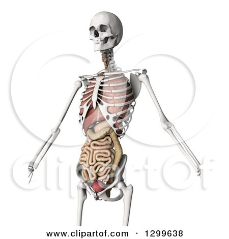 Clipart of a 3d Human Skeleton with Visible Internal Organs, on White - Royalty Free Illustration by KJ Pargeter