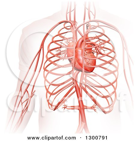 Clipart of a 3d Visible Man's Circulatory System and Heart, on White - Royalty Free Illustration by Mopic