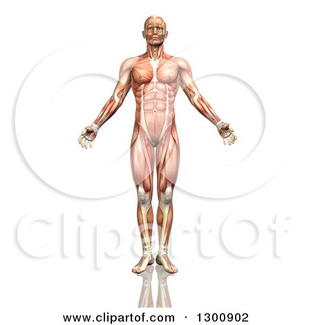 Clipart of a 3d Anatomical Male with Visible Muscle Map, on White - Royalty Free Illustration by KJ Pargeter