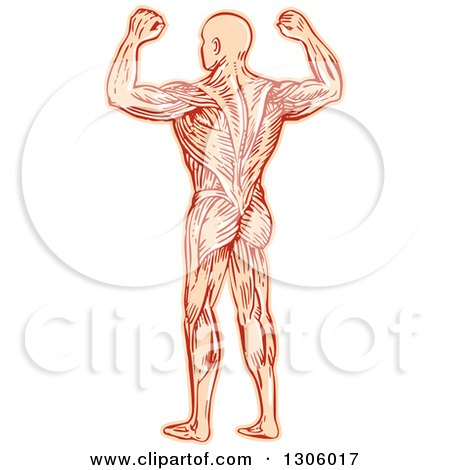 Clipart of a Sketched or Engraved Rear View of a Flexing Man with Visible Muscles - Royalty Free Vector Illustration by patrimonio